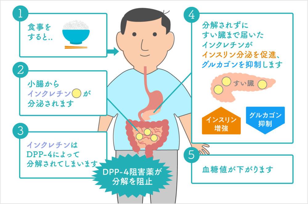 DPP4阻害薬の作用-糖尿病の新しい治療薬
