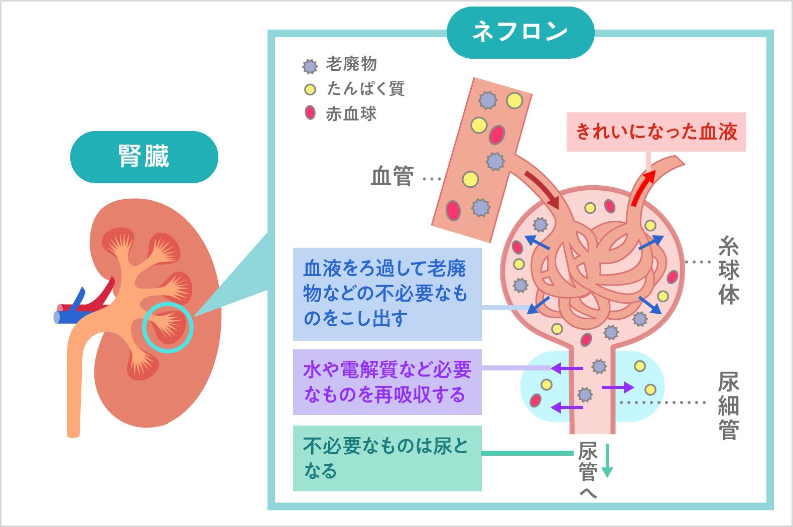 腎臓の構造と機能